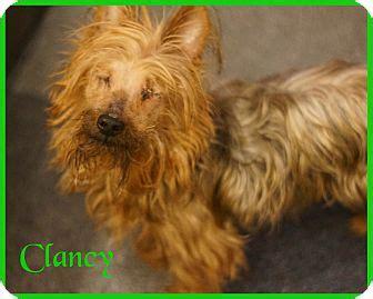 yorkie australian terrier mix port clinton oh australian terrier yorkie terrier mix meet clancy a