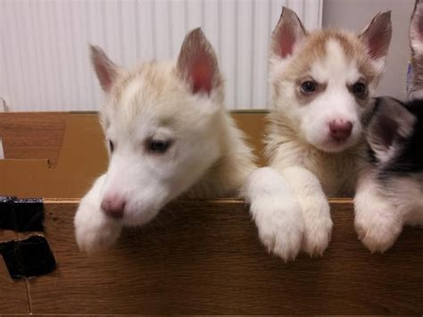 siberian husky puppies for sale in colorado husky puppies for sale uk auto design tech