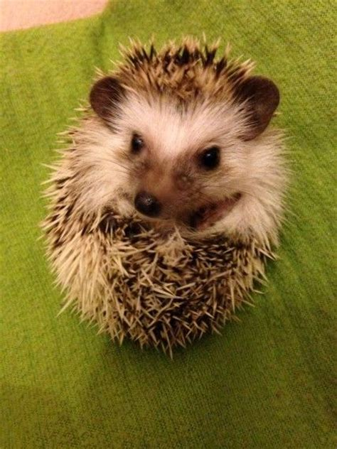 hedgehog for sale 17 best ideas about hedgehog for sale on pinterest pet