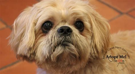 shih tzu cloudy senior gentleman shih tzu here s bailey adopted beaver creek farm sanctuary