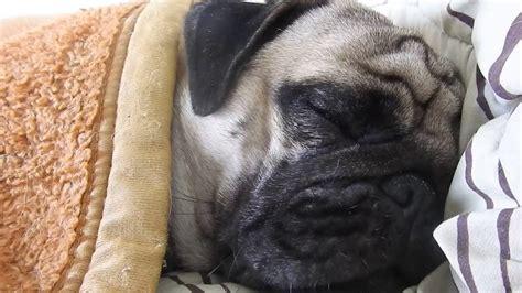 pug sleeping my pug sleeping on the bed