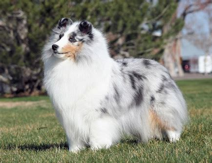 Is the Sheltie right for you? – American Shetland Sheepdog ...