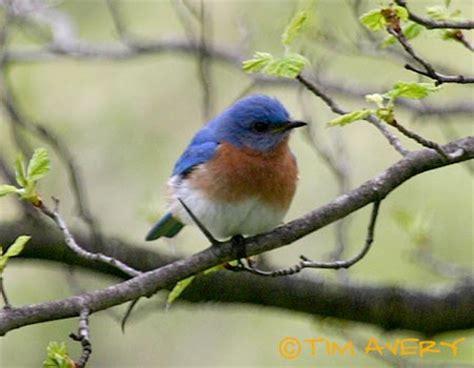bird with colored beak american robin kingbirds bluebirds and chickadees of