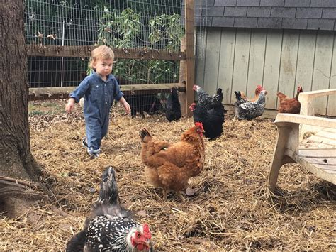 raising backyard chickens raising chickens in charlotte
