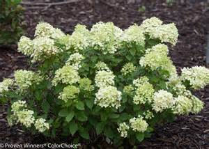 Container Gardening Blog - little lime 174 hardy hydrangea hydrangea paniculata images proven winners