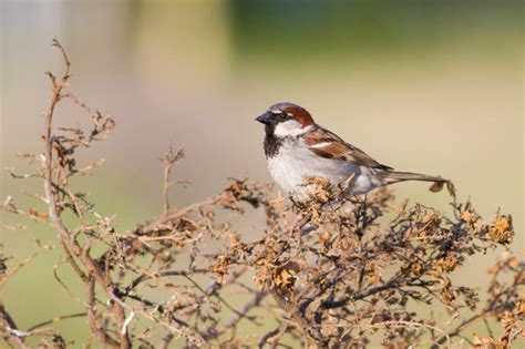 invasive sparrows immune cells sharpen as they spread