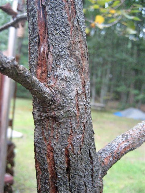 white canker tree and shrub disease