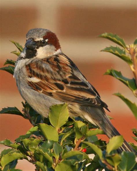 25 best ideas about house sparrow on pinterest sparrows