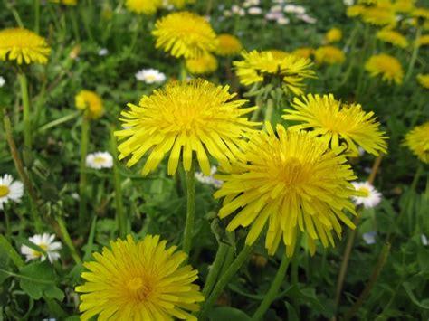ricette con fiori di tarassaco amaro delicato ai fiori di tarassaco vegan