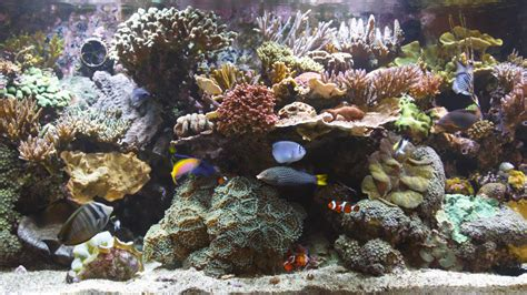Lu Aquarium bluscenes coral reef aquarium wallpaper