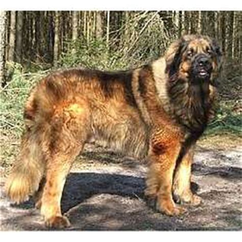 leonberger puppies for sale leonberger puppies for sale from reputable breeders