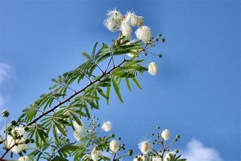 i fiori pi profumati piante tropicali a fiori profumati calliandra portoricensis