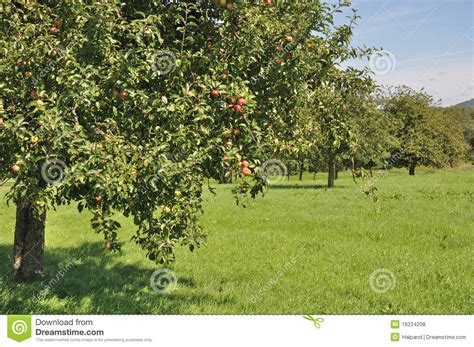 fruit trees in field 2 baden royalty free stock photos - Fields For Growing Fruit Trees