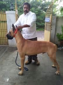 Great Dane Breeders Great Dane Puppies Great Dane Puppies Sale In Chennai