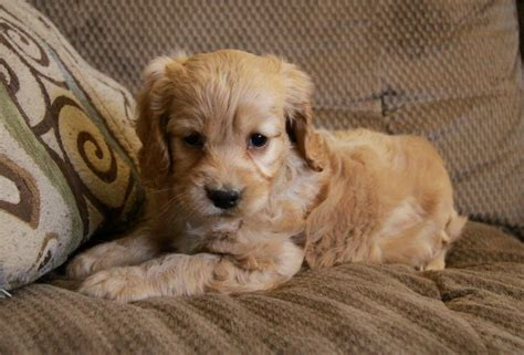 doodle puppies for sale in ontario goldendoodle puppy breeders ontario mini doodle puppies
