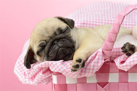 pink pug sleeping pug in pink basket photograph by greg cuddiford