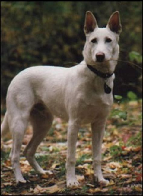 canaan breeders 17 best images about canaan on adoption image search and breeds