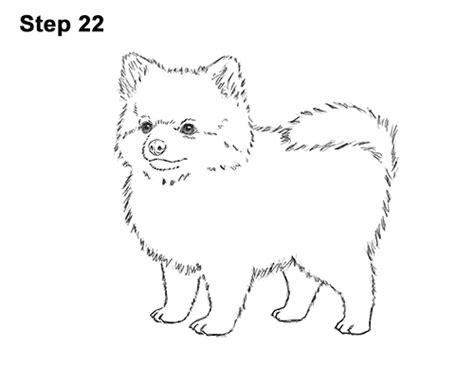 pomeranian drawing how to draw a pomeranian
