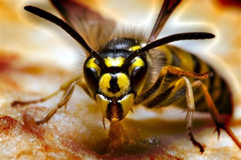 british family home attacked by asian killer hornets