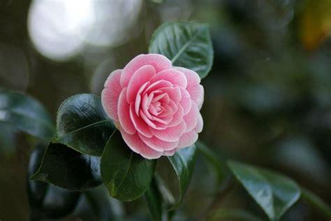 camelia fiori camelia camellia japonica piante da giardino