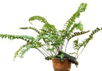Isi 50 Biji Benih Biji Herb Sweet Marjoram 1 benih lecanopteris pumila ant plant gt 100 biji non retail bibitbunga