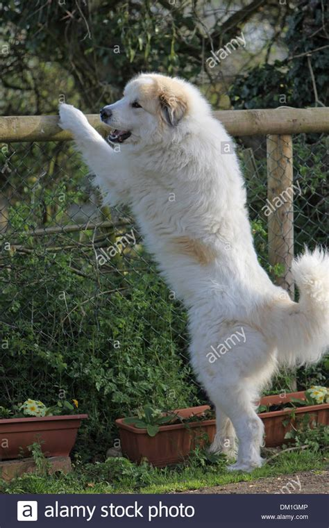 how to your to stand on hind legs pyrenean mountain standing on it s hind legs at a fence stock photo royalty free