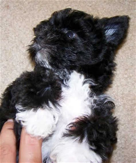 black and white teacup yorkie white and black teacup yorkie www pixshark images galleries with a bite
