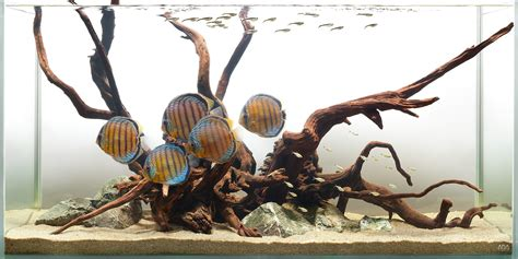 aquarium design group discus aquarium design group a wild discus hardscape