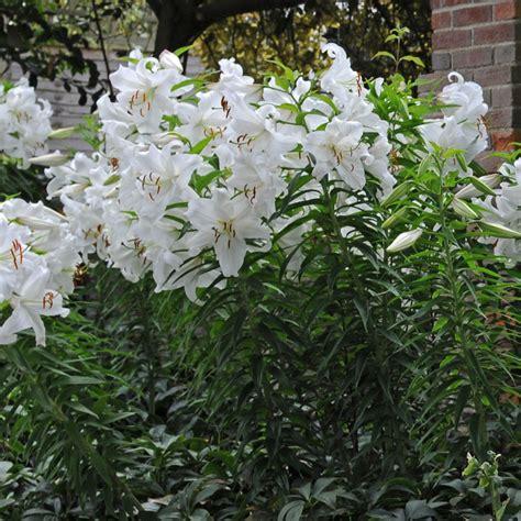 casablanca lilies lilium casa blanca lilies