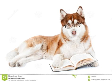 brown siberian husky dog reading book in specs stock photo