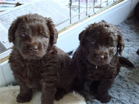 labradoodle puppies wisconsin sale 500 ready now beautiful miniature labradoodle puppies