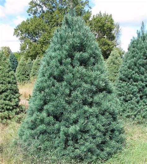 scotch pine wholesale christmas trees