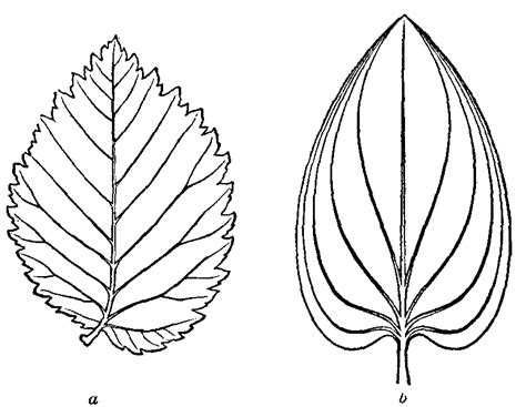 elm leaf coloring page best photos of elm leaf template printable leaf pattern