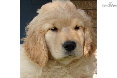 purebred golden retriever puppy golden retriever purebred puppy breeds picture