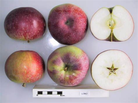 section 72a file cross section of lobo la 72a national fruit
