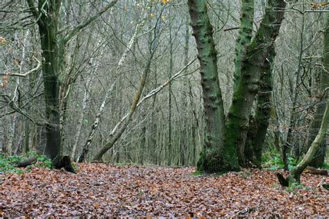 Woodland Tree - woodland trees 9
