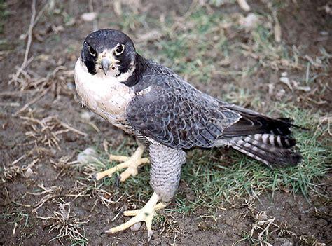 falco pellegrino alimentazione ticino caccia