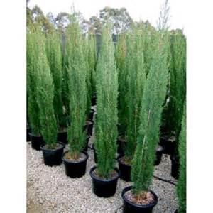 Drought Tolerant Climbing Plants - buy cupressus glauca pencil pine online plants