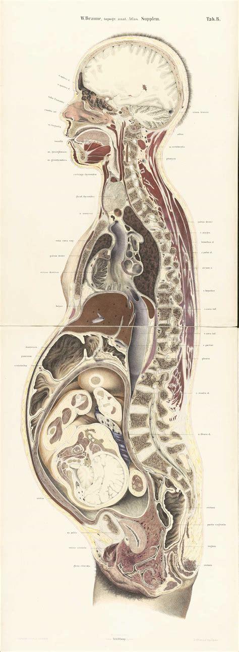 female anatomy cross section historical anatomies on the web wilhelm braune home