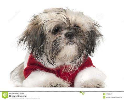 2 month shih tzu shih tzu puppy 2 months lying stock photo