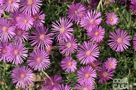 fiori perenni pieno sole portulaca delosperma fico degli ottentotti tre specie