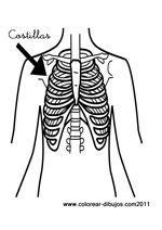 costillas del cuerpo humano dibujos de costillas para colorear huesos humanos