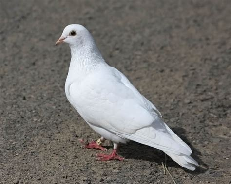 white homing pigeon photo jim arterburn photos at pbase