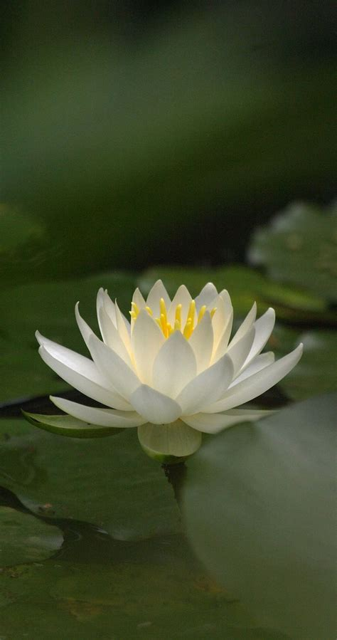 what is white lotus 25 best ideas about white lotus on white