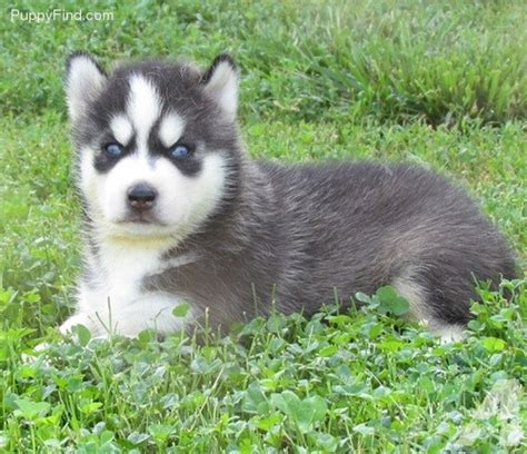 siberian husky puppies for sale in los angeles bread siberian husky puppies for sale in los angeles california classified