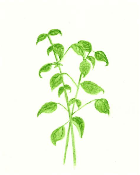 free printable herb poster free basil and sage herb watercolor printables the