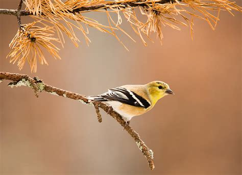 american goldfinch winter plumage photograph by christy cox