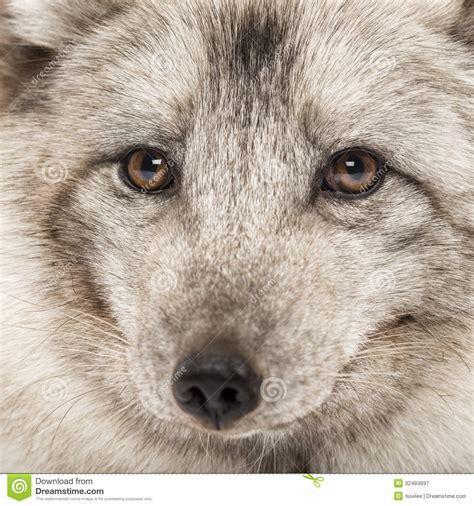 up of a arctic fox vulpes lagopus royalty free stock photography image 32484697