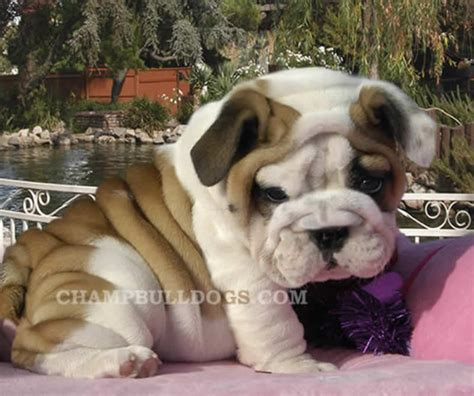 bulldog puppies for sale bulldog puppies for sale bulldogs bulldog breeders