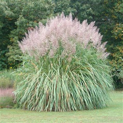 Best Sun Ls by 104 Best Images About Fl Ornamental Grass On